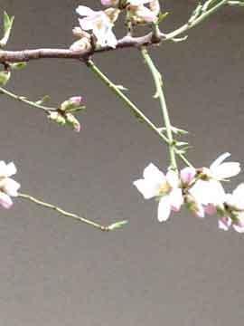 10日家の近くで桜が咲いていました。 少し早いけど、綺麗^^