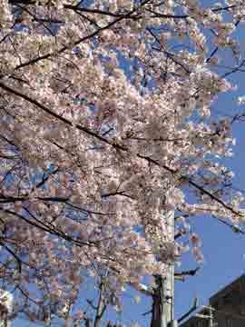 5日桜が満開^^綺麗です^^