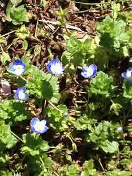 7日オオイヌノフグリもかわいい^^ この花は摘むと花がすぐに落ちます