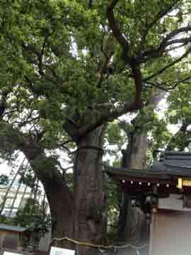 11日サロン近くの神社の御神木。 写真で大きさ解るかな???