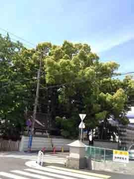 15日サロン近くの神社の御神木 とっても立派な樹です^^