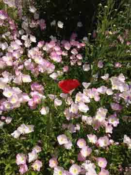 24日ピンクの花の中に真紅の花が一輪 綺麗ですね~~